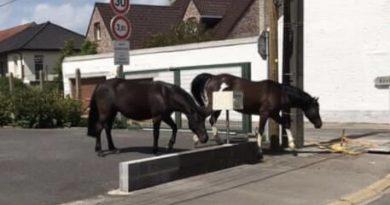 Ecquedecques: deux chevaux en liberté dans la rue principale