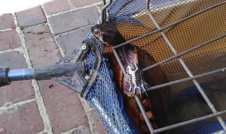 Lillers: une tortue repêchée par un promeneur dans la Nave
